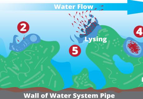 Where does Legionella grow (biofilm)